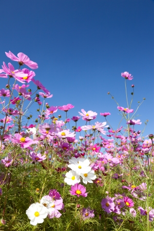 This is a picture of the cosmos I have taken in October. Stock Photo