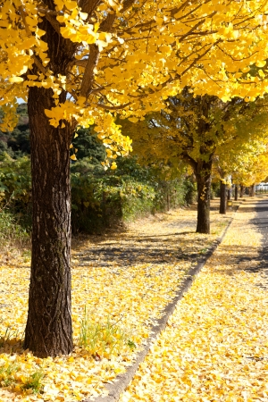 This is a photograph of a row of trees with yellow leaves ginkgo. Stock Photo