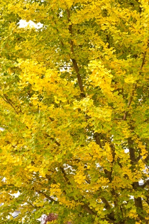 This is a photograph of a ginkgo tree in autumn  Stock Photo - 16452666
