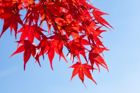 This is a photo of the maple leaves  Stock Photo