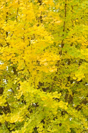 This is a photograph of a ginkgo tree in autumn. photo