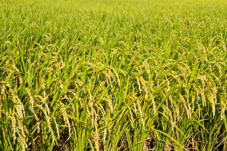This is a photograph of a rice paddy field that I have taken in September. photo