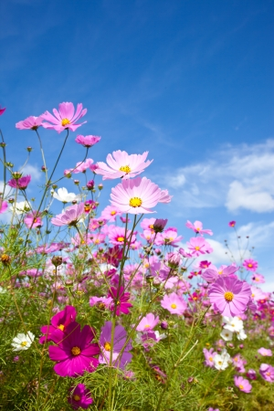cosmos flowers: This is a picture of the cosmos I have taken in October. Stock Photo