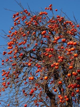 This is a photo of a lot of fruit ripe persimmon tree.