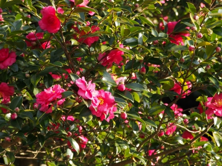 This is a photo of the flowers are blooming sasanqua.  photo
