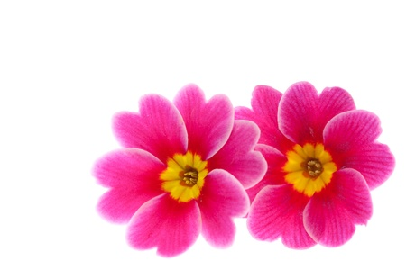 This is a photo of the flower of Primula  photo