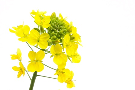 This is a photograph of rapeseed flowers.