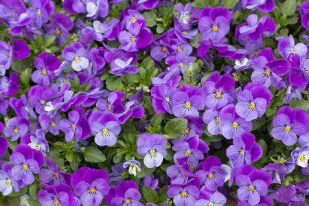 This is a photograph of a purple viola.