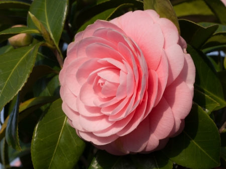 double-flowered camellia.