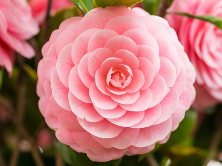 This is a photograph of a double-flowered camellia.