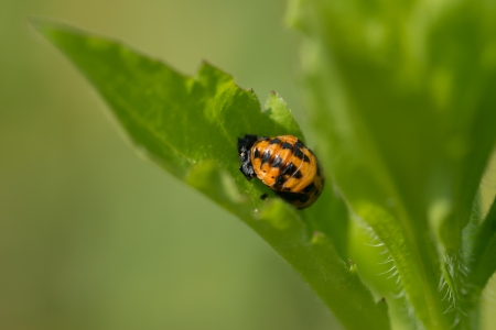 This is a photo of ladybird larvae. Stock Photo