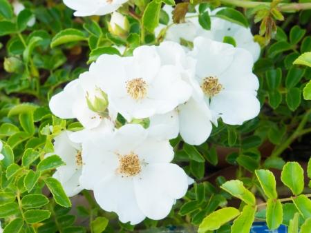 wild  rose: Questa � una fotografia di fiori di rosa selvatica. Archivio Fotografico