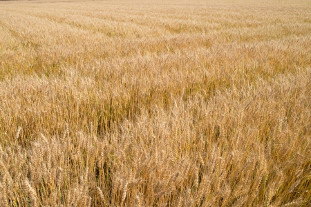 This is a photograph of a wheat field.