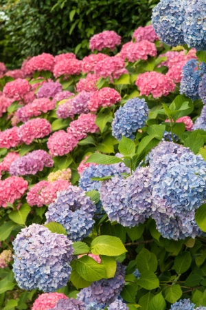 hydrangea flowers. Stock Photo