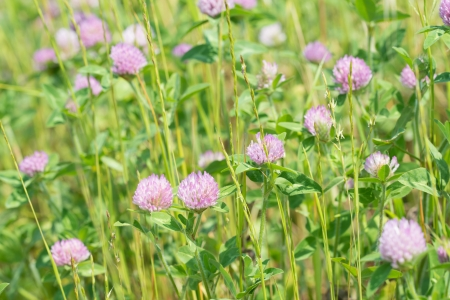 This is a photograph of a flower of red clover. photo