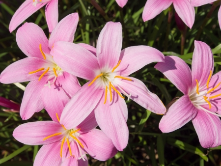 This is a photograph of a flower of zephyranthes.