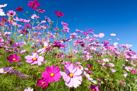 cosmos flowers: This is a picture of the cosmos.