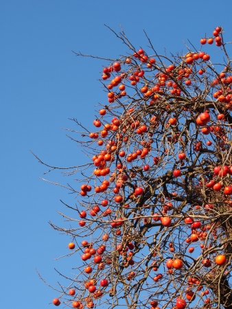 grew: This is a photograph of a scene that fruit has a lot of grew on persimmon tree.
