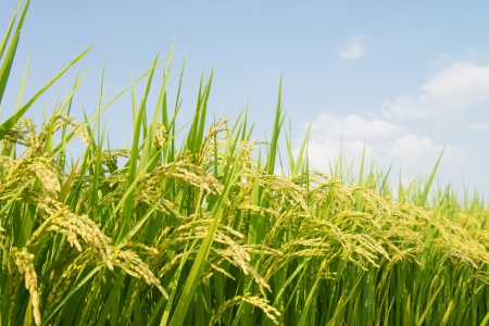 This is a photo of rice ripe.