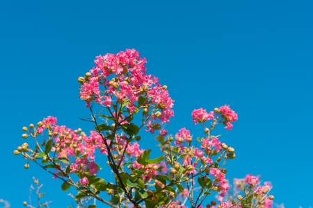 This is a photograph of a flower of crape myrtle.