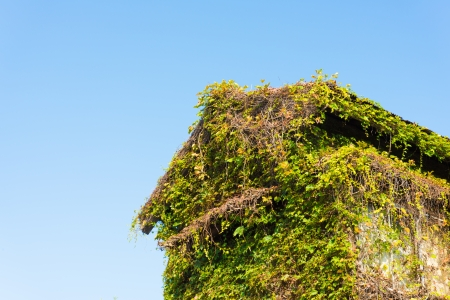 creeping plant: This is a photograph of a house covered in ivy. Stock Photo