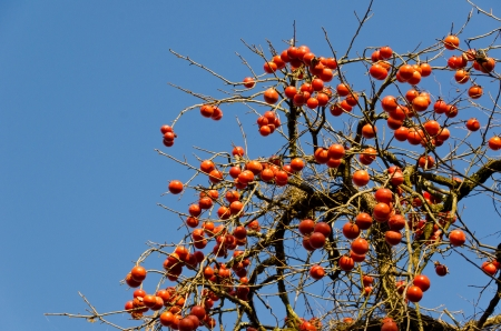 persimmon tree: This is a photograph of a scene that fruit has a lot of grew on persimmon tree.