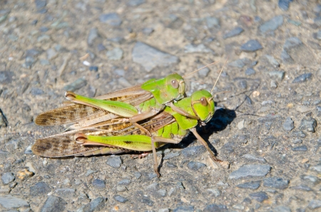 This is a photo of the two grasshoppers. photo