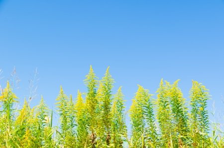 goldenrod: This is a photo of a blue sky and goldenrod.