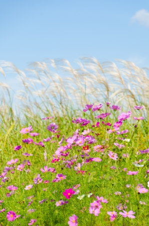 This is a photo of cosmos flowers and silver grass. photo