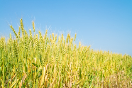 This is a photo of ripe wheat. photo