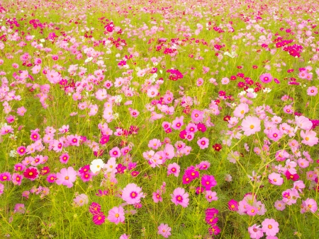 cosmos flowers: This is a photo of cosmos flowers