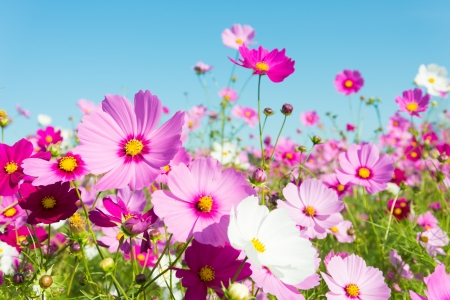 This is a photo of cosmos flowers. Stock Photo