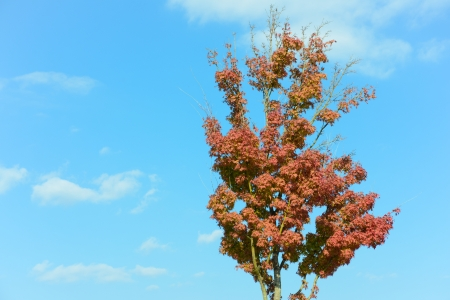 This is a photo of a maple tree that impending autumn leaves. photo