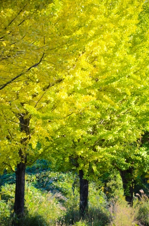 This is a ginkgo tree on the way to become the yellow leaves. photo