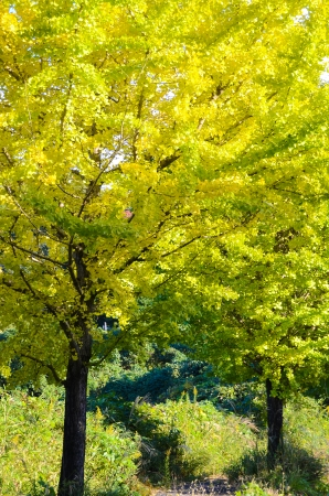 ginkgo tree: This is a ginkgo tree on the way to become the yellow leaves.