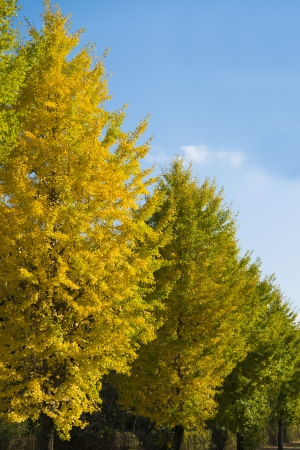 This is the ginkgo trees on the way to become the yellow leaves. photo