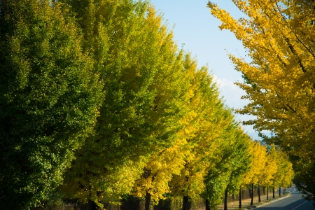 These are ginkgo yellow leaves in autumn.  photo