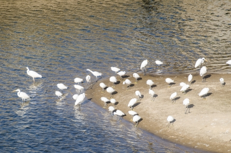 sandbank: This is a flock of egrets gathered in the sandbank of the river. Stock Photo