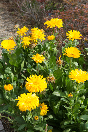 This is the yellow flowers of calendula.