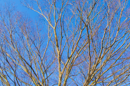 This is a dead tree and blue sky of winter.