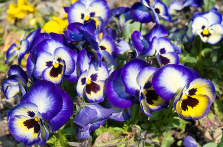 This is a flower bed of pansies flower bloom.