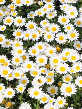 ヒナギクの花です。