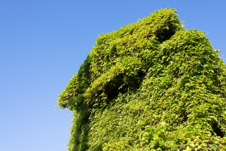 This is a house covered in ivy. Stock Photo