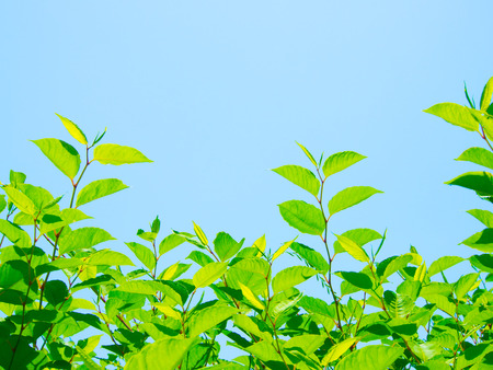 This is a blue sky and the young leaves in the early summer.