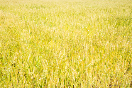 This is a wheat field that is ripe ear. Stock Photo