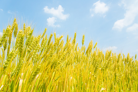 These are the blue sky and ears of wheat. Stock Photo