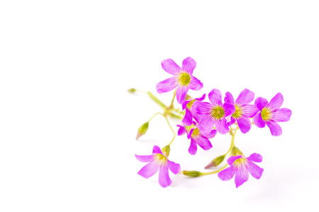 These are the flowers of geranium. Stock Photo