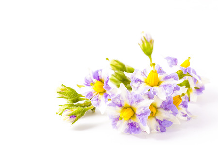 These are the flowers of potatoes blooming in early summer. Stock Photo