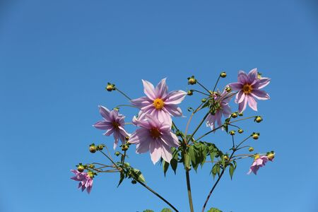 pink flowers on background of blue sky 写真素材