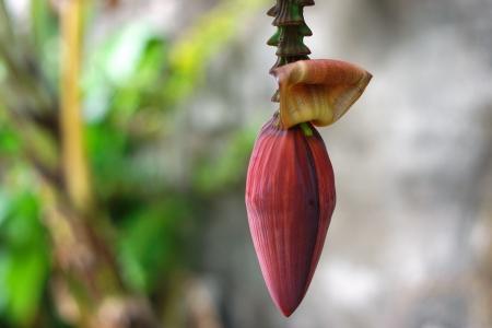 kerala culture: Banana banana blossom